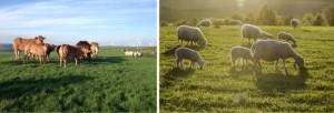 cow-sheep