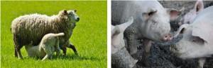 16-05-SHEEP-PIGS